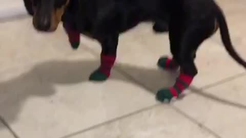 Maxwell's first time wearing socks