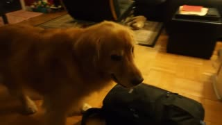 Impatient dog eagerly awaits her gift - Video