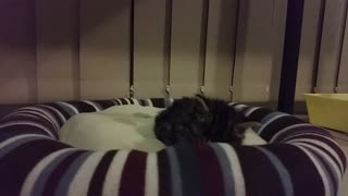 Sleepy Kitty Fights to Stay Awake - Video