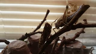 Timmy and Lenard My Two Pet Locust - Video