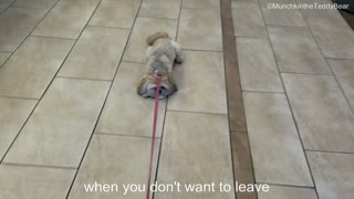 Munchkin the cute Shih Tzu doesn't want to leave! - Video