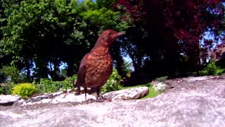 irish wild birds in irish country cottage - Video