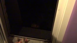 Nighttime Owl Feeding - Video