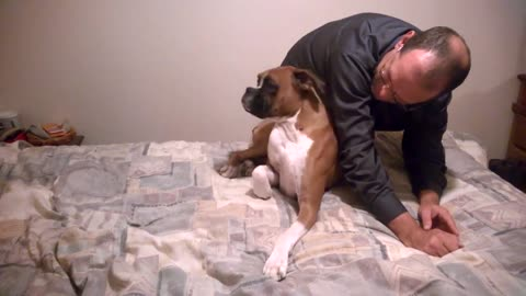 Guilty Boxer Dog Hides Under His Human