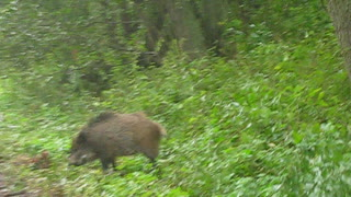 Wild boars on the Curonian spit, Russia