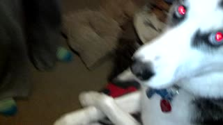 Polite Husky sits with legs crossed - Video