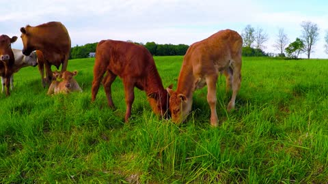Newborn Calves Adorably Munch On Same Patch Of Grass
