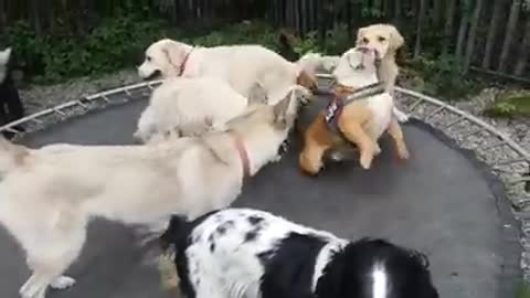 Dog party takes place on trampoline
