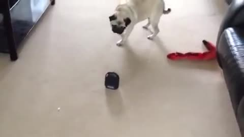 Pug hilariously confused by fart machine