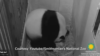 Baby panda born at National Zoo - Video