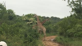 Pair of giraffes caught fighting in wild - Video