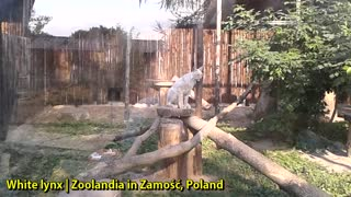 White lynx | Zoolandia in Zamość, Poland - Video