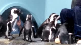Cute penguins at Monterey Bay Aquarium - Video