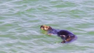 Sea otters eating crab