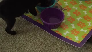 Tiny Boston Terrier Puppy Carries His Bowl - Video