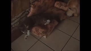 Cat refuses to share couch with dog - Video