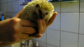 Tiny little hedgehog goes for a swim
