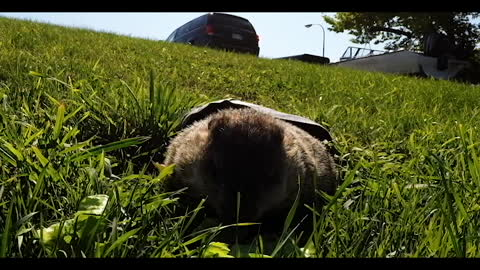 Groundhog stands like a human to check for his shadow