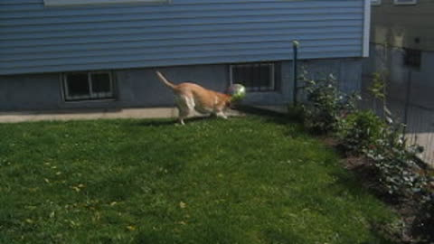 Labrador plays with a balloon