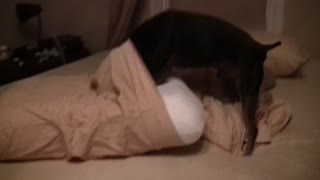 Dog loves new memory foam pillow - Video