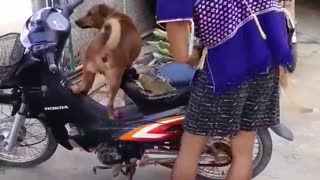 Two Dogs on a Bike - Video