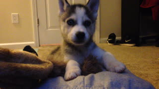 Husky puppy reacts to his first hiccups