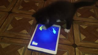 Kitten Plays Cat Fishing