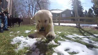 Golden Retriever puppy attacks GoPro - Video