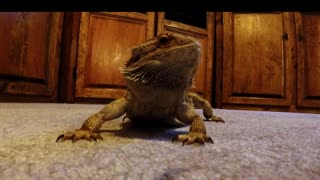How To Make A Bearded Dragon Smile - Video