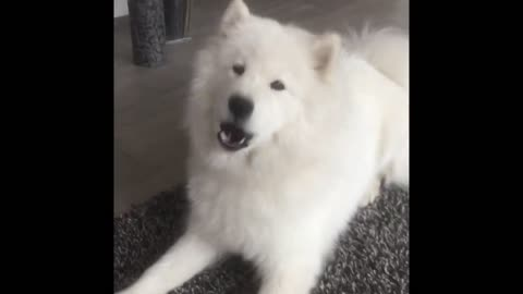 Samoyed dog howling will make you smile