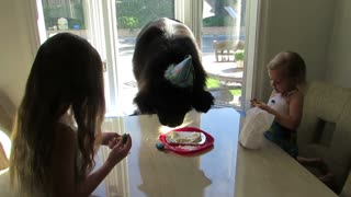 Giant dog celebrates his birthday - Video