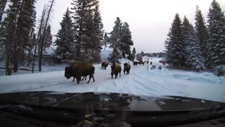 Bison Herds Moving Along Yellowstone Road