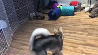 Ferrets with A Dog in The Playroom At Home  - Video
