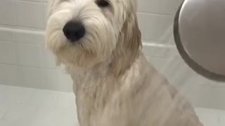 White dog white bath does not like shower - Video