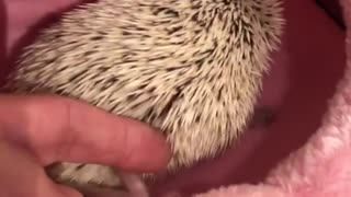 hedgehog sitting on his bed