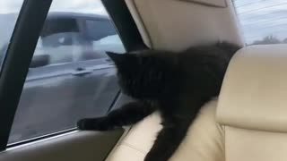 Unique kitten surprisingly relaxed during car ride