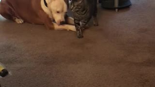 Kitty loves her pitbull