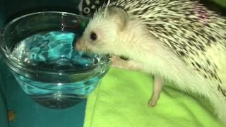 Cute little hedgehog drinking in SLO-MO! - Video