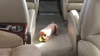 Poodle puppy has fun while travelling on private jet