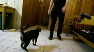 Cat following owners hand doing a bunch of jumps