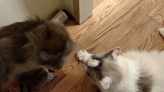 Monkey gives kitty cat loving kiss