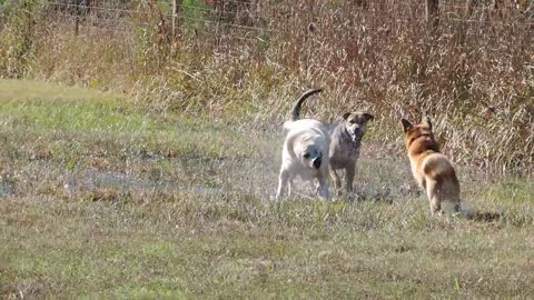 Formerly Chained Dogs Have Freedom Run in Field