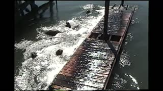 Sea Lion Capsizes Dock - Video