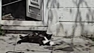😻😻😻Black mummy cat playing with hyperactive cute kittens😻😻😻