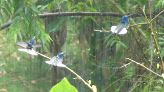 A Rare Footage Of Hummingbirds Enjoying The Rain Shower - Video