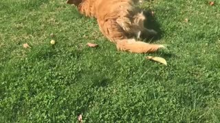 Golden dog laying and rolling on grass