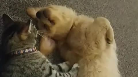 Cat and dog play fight  in living room