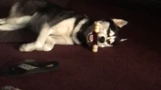 Husky sleeps with bone in weirdest possible way - Video