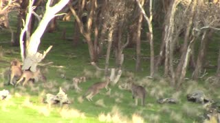 Boxing kangaroos settle a dispute - Video