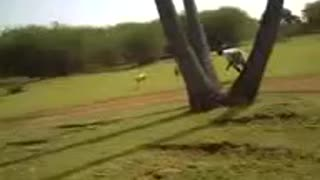 hunting rabbets by dogs amazing  - Video